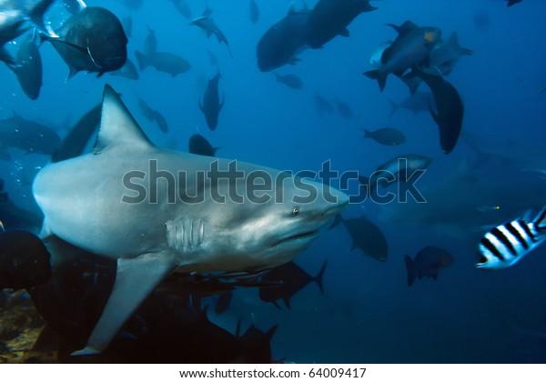 The big Bull shark from Pacific ocean at 30 meters depth