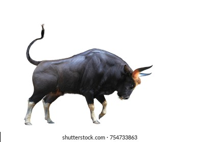 The Big bull young strong have muscle and sharp horn is goring stand. isolated on white background. This has clipping path.