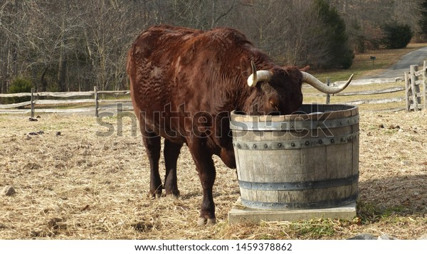 A big bull/bison drinking water.