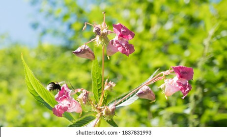a big bumblebee with pink flowers