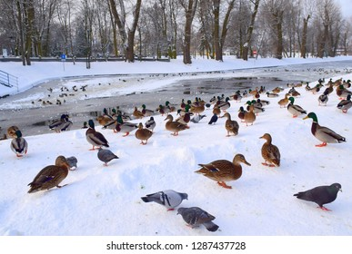 A big bunch of birds walking on the snow and ice near a frozen lake covered with ice and snow and some trees in the background, including pigeons, ducks, drakes, and crows seen in Poland