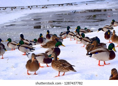 A big bunch of birds walking on the snow and ice near a frozen lake covered with ice and snow, including pigeons, ducks, drakes, and crows seen in Poland during a chilly day in a public park