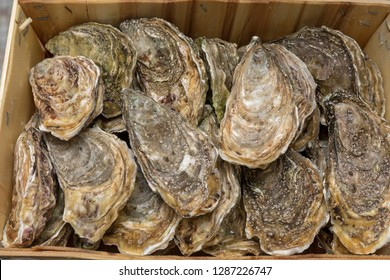 Big Bunch of Fresh Oysters in Wooden Crate Seafood