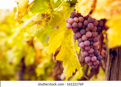 Big bunch of red wine grapes hang from a lush green vine.