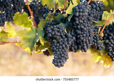 Big bunches of ripe Shiraz grapes on summer vine with warm glow background