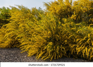 A big bush of Acacia Saligna on its blooming period with an abundance of yellow flowers