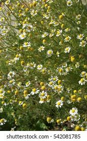 Big bush blooming chamomiles.