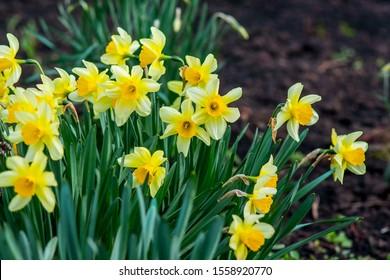 Big bush of yellow daffodils on flowerbed. Spring flowers
