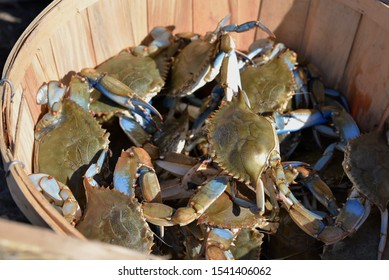 Big bushel of angry blue crabs for sale, as caught in Maryland or New Jersey marshes and bays.