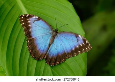 Big Butterfly Blue Morpho, Morpho peleides, sitting on green leaves in Costa Rica.