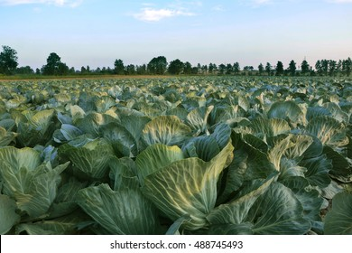 Big cabbage field. Agricultural landscape on sunny day