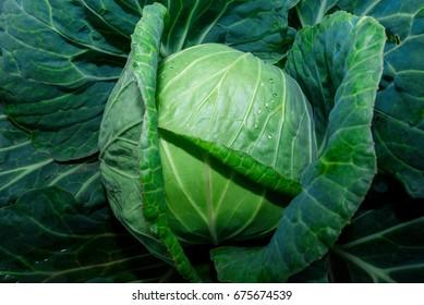 Big cabbage in the garden