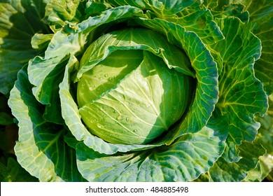 Big cabbage in the garden,fresh kitchen garden cabbage