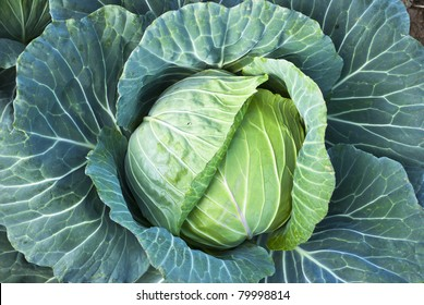 Big Cabbage on the mountain
