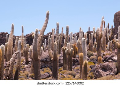 Big cactus on Incahuasi island, salt flat Salar de Uyuni, Altiplano, Bolivia. South America