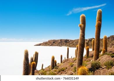 Big cactus on Incahuasi island, salt flat Salar de Uyuni, Altiplano, Bolivia