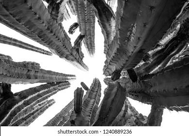 big cactus - pachycerus weberi black and white