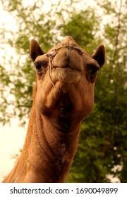 A big camel found from dosripark at qatar