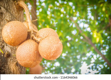 Big cannonball fruits (Couroupita guianensis) on tree in garden. Couroupita guianensis is planted as an ornamental for its showy, scented flowers, and as a botanical specimen for its interesting fruit