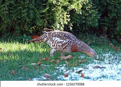 a big capercaillie hen in the garden