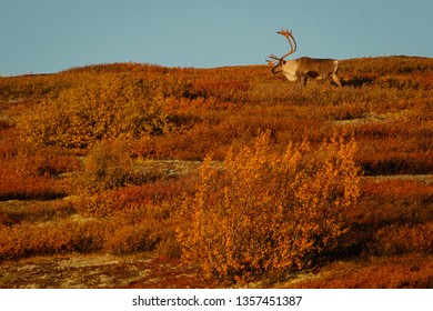 Big caribou male in Denali national park in fall season, Alaska