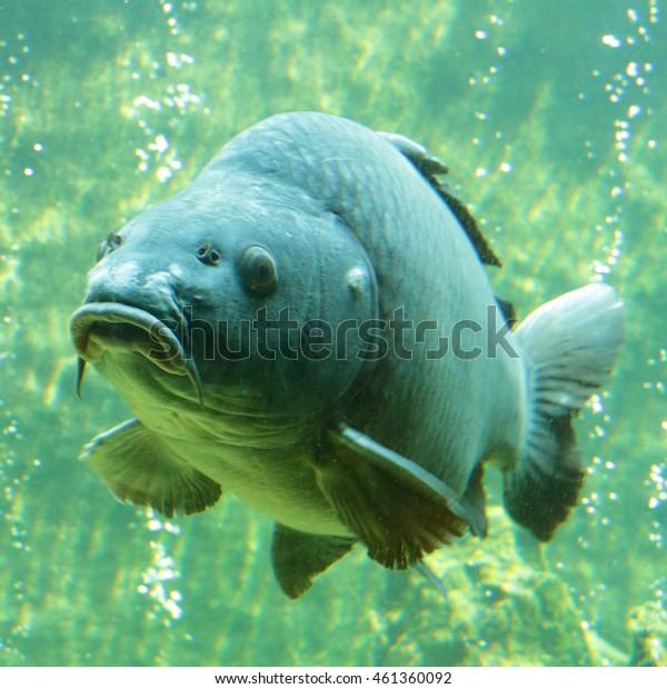 Big carp (Cyprinus carpio) underwater photo in lake. Diving in fresh water.