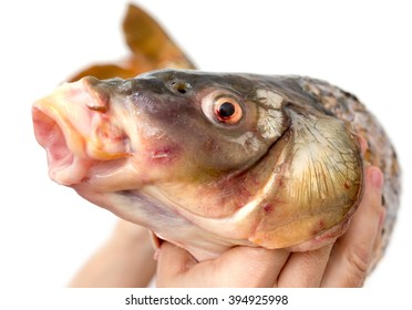 big carp in his hand on a white background