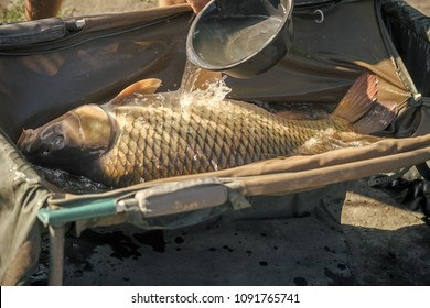 Big carp in water poured from bowl, capture. Fish with shining scales on sunny day, fishing. Carp fishing, angling, fish catching, capture. Trophy, success, achievement