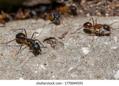 Große Tischlereisen im Nest, Ameisenarbeiter in der Kolonie, Marokko Ameisen