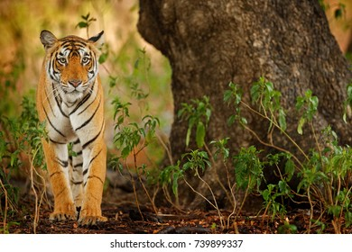 Big cat, endangered animal hidden in forest. End of dry season. Tiger walking in green vegetation, wildlife from India.