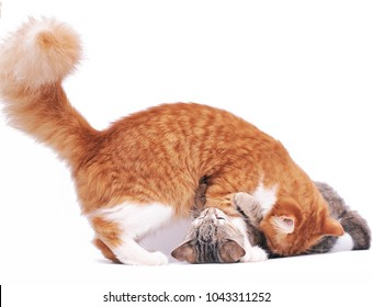 Big cat with a kitten plays isolated on white background