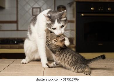 Big cat licks a kitten