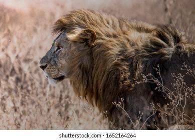 Big cat lion in Ngorongoro Crater