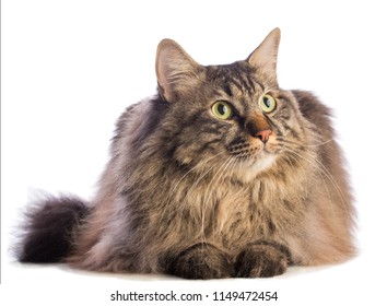 Big cat norvegian, feline with long hair on white background