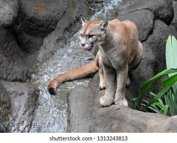 Big cat in rainforest, Costa rica.
