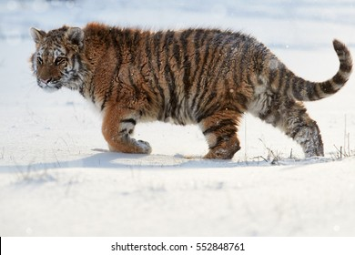 Big cat, Siberian tiger, Panthera tigris altaica in winter landscape. Freezing cold, winter. Tiger in snowy environment  backlighted by early morning sun.