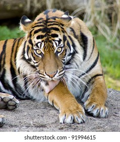 A big cat Tiger performs some personal hygiene animal wildlife