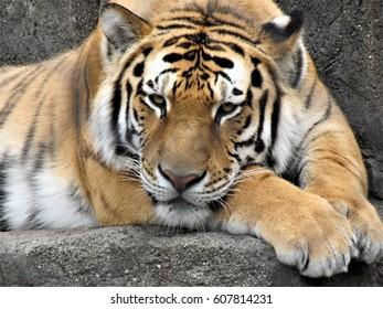 Big cat Tiger striped