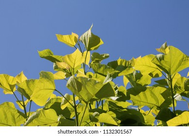 big catalpa leafs against blue sky