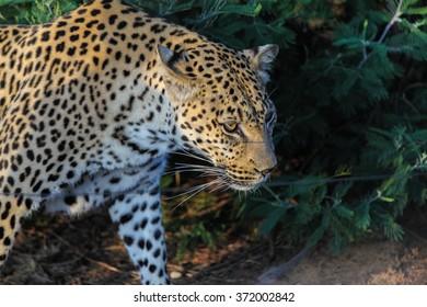Big cats: a leopard.