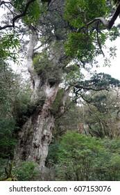 Big cedar Jyoumonsugi