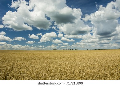 Big cereal field and blue sky