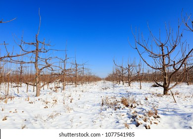 big cherry orchard after snow