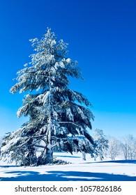 Big Christmas tree after snowfall, winter landscape.