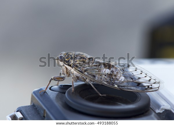 Big cicada sitting on a camera, portrait of big nice insects