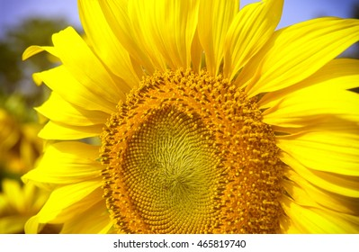 big close up yellow sunflower