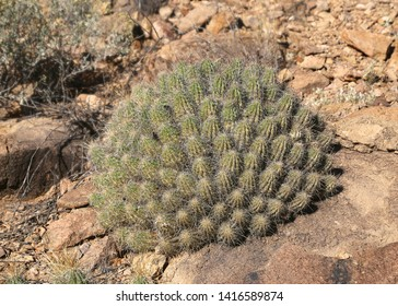Big clump of hedgehog cactus (echinocereus)