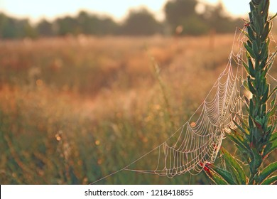 Big cobweb among blades in field in sun light at dawn. Spider's web in summer field in sun rays at dawn. Summer field at dawn. Droplets of dew on grass at dawn