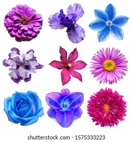 Big collection of various blue and purple head flowers rose, clematis, morning glory, chamomile, dahlia, aster, iris, lily isolated on a white background. Flat lay, top view
