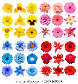 Big collection of various head flowers yellow, pink, blue and red isolated on white background. Perfectly retouched, full depth of field on the photo. Top view, flat lay